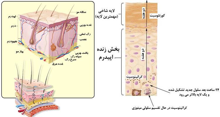 لایه های پوست انسان